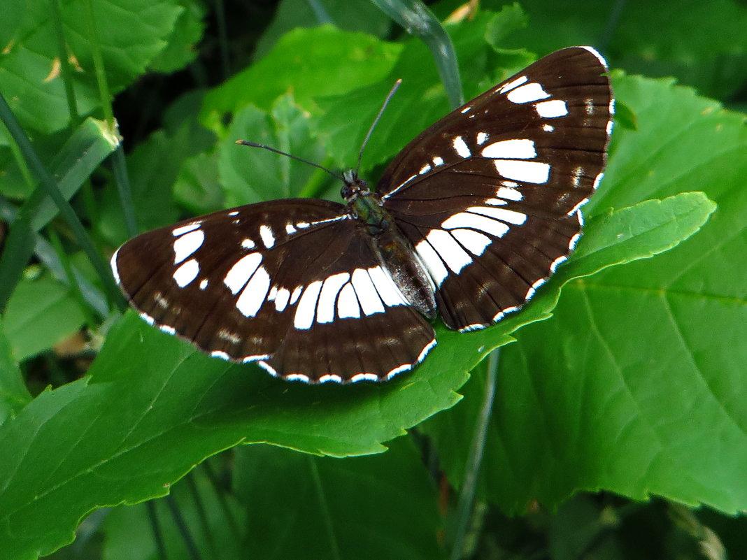 Пеструшка таволговая Neptis rivularis - vodonos241