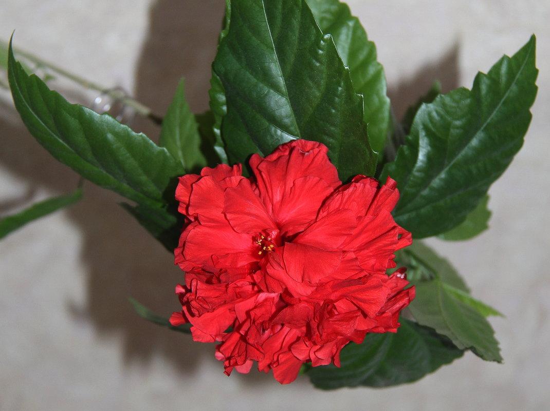 Китайская роза - Vlad Сергиевич