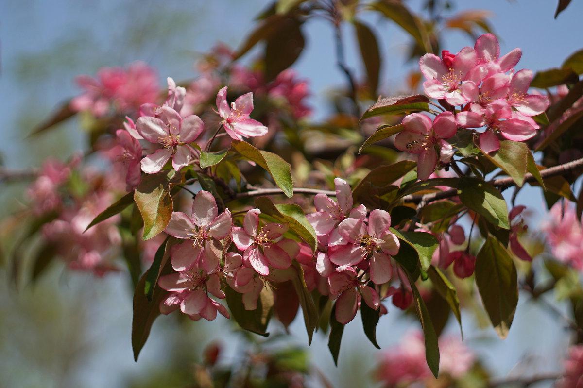 Декоративная яблоня - Анна Васильева (Anna-82V)