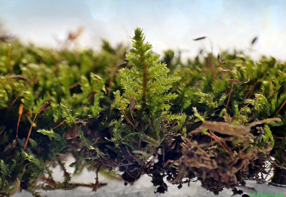 Апрельский мох надеется на лучшее..:) - Андрей Заломленков