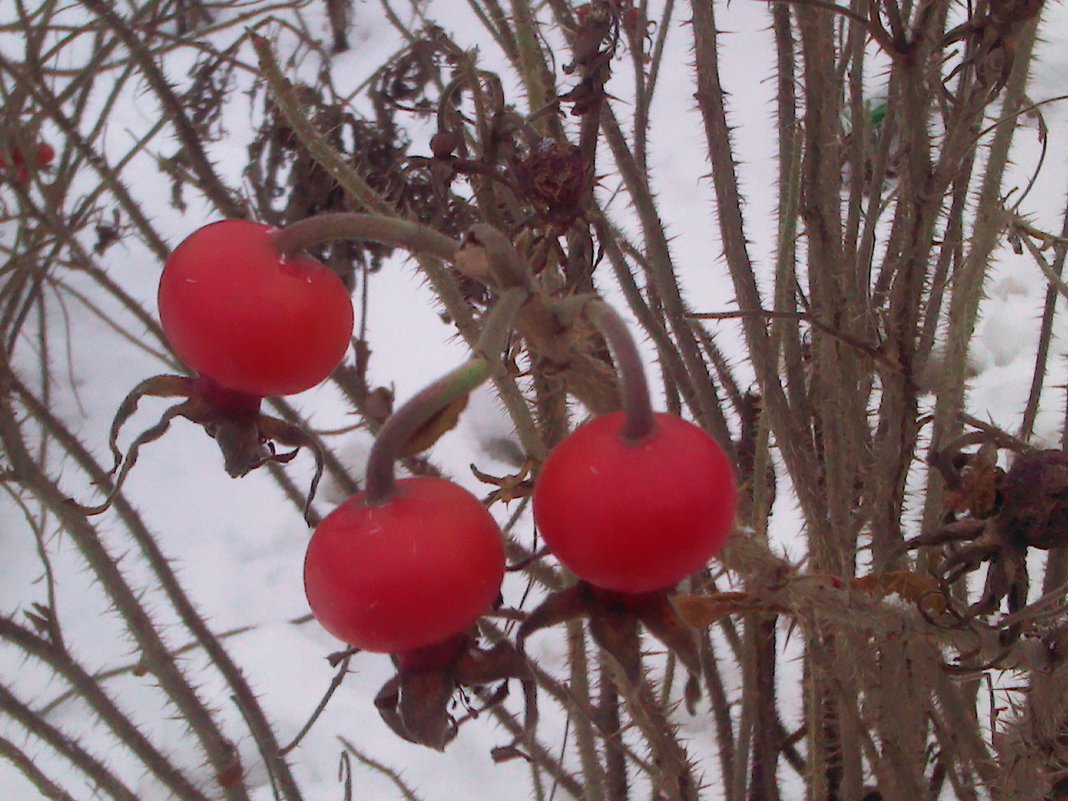 Зимняя ягода - Svetlana Lyaxovich