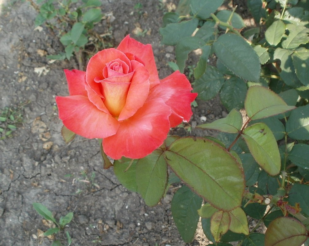 Лососевая роза - Марина Чайкина