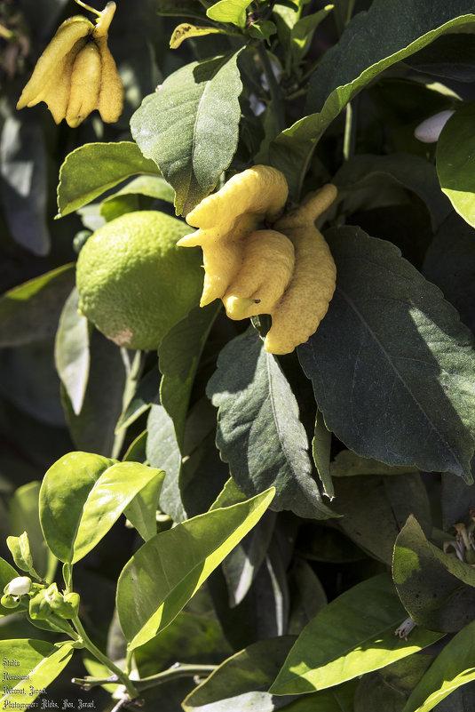 Лимончики ..... - Aleks Ben Israel