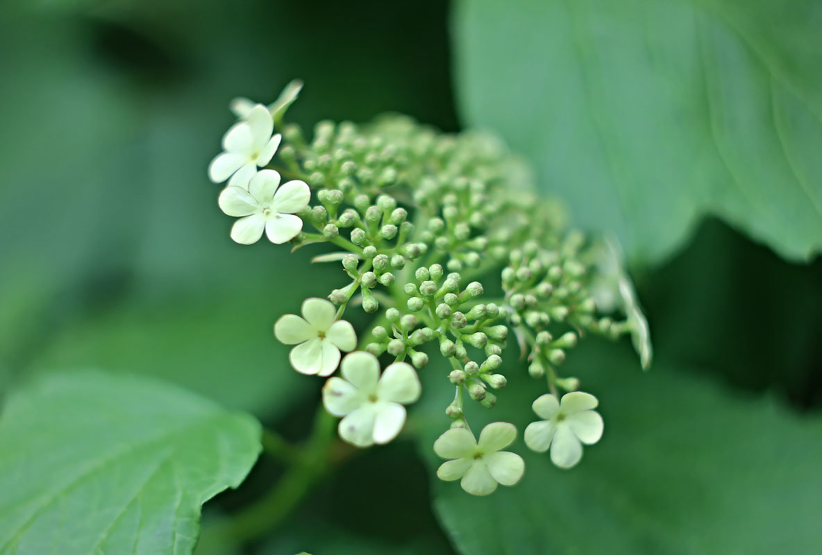 Цветы калины - Нина Кутина