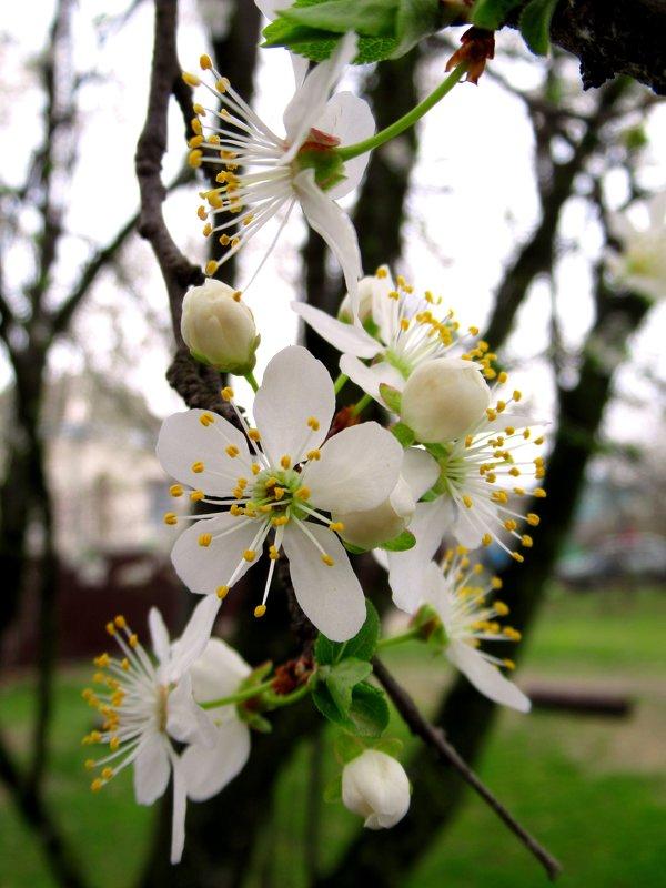 Скромное обаяние цветов на деревьях. - Вячеслав Медведев