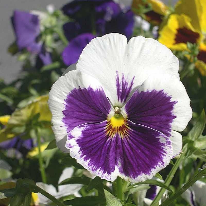 Viola tricolor 21 - Андрей Lactarius