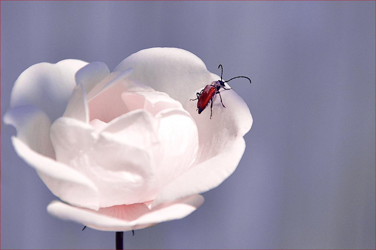 Роза. - Марина