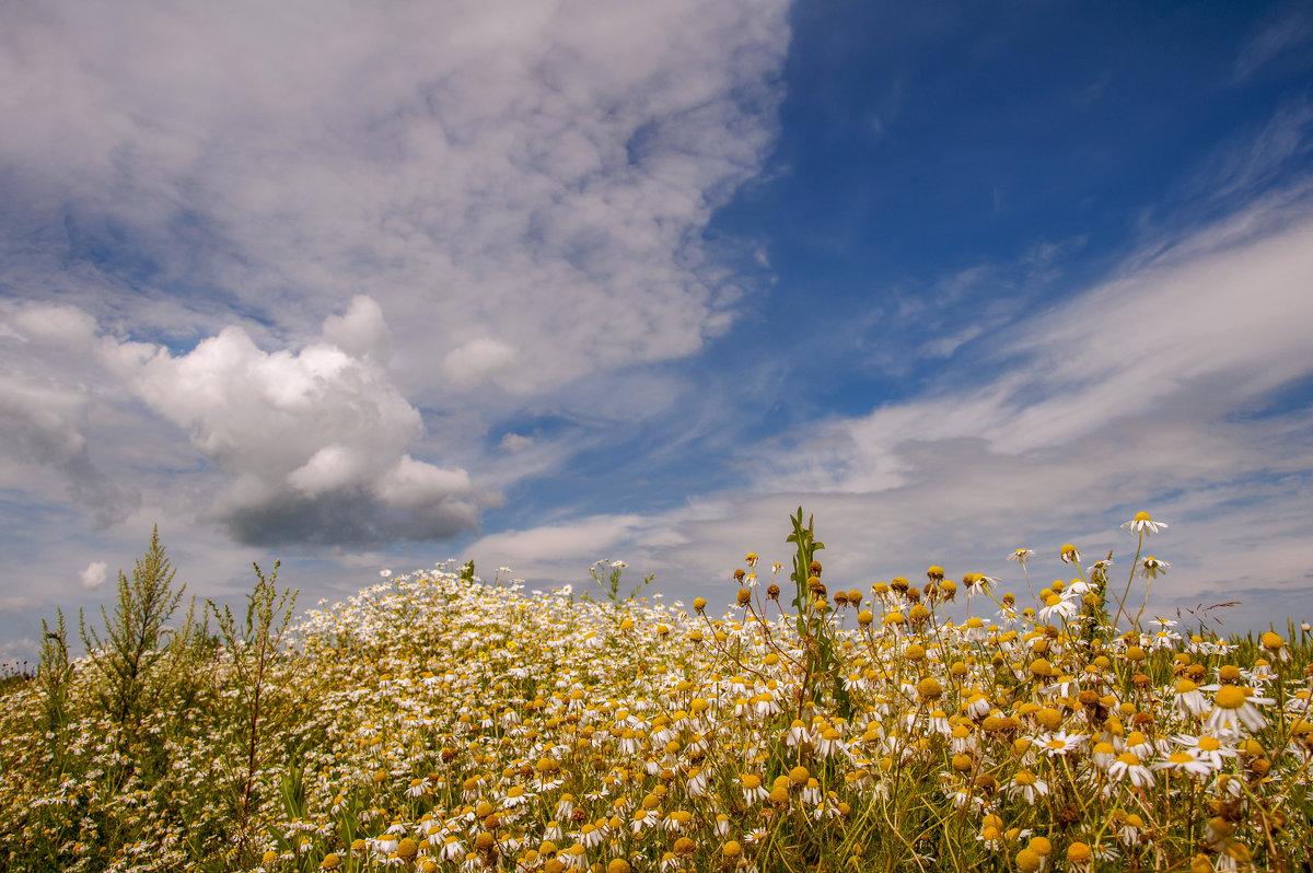 В поле-белые ромашки, а над полем-неба синь - Наталья Димова