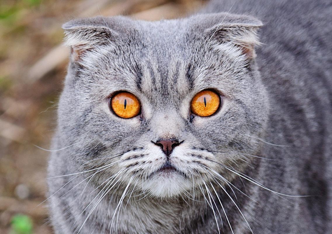 Портрет соседского кота Тимки - Анатолий Клепешнёв