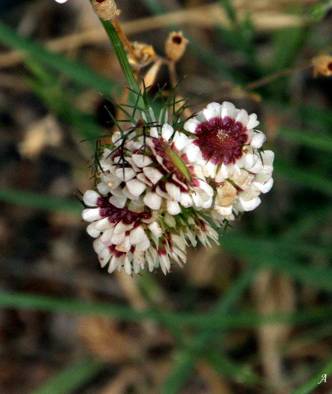 Полевой  цветочек - Аркадий Басович