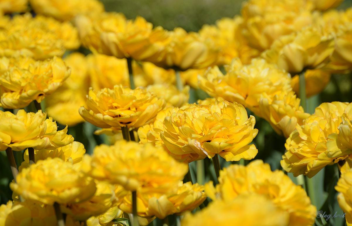 Жёлтые тюльпаны - Тамара Бедай