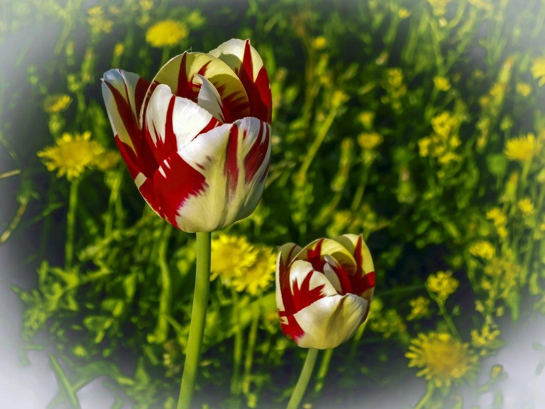 Тюльпаны. - Oleg4618 Шутченко