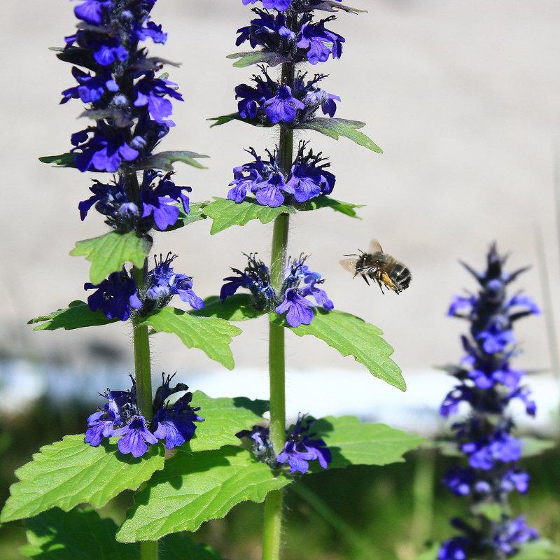 пчела IMG_6191 - Олег Петрушин