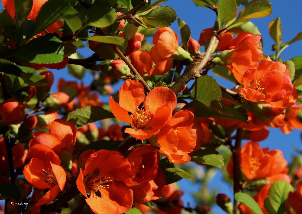 Яркое цветение - Татьянка *