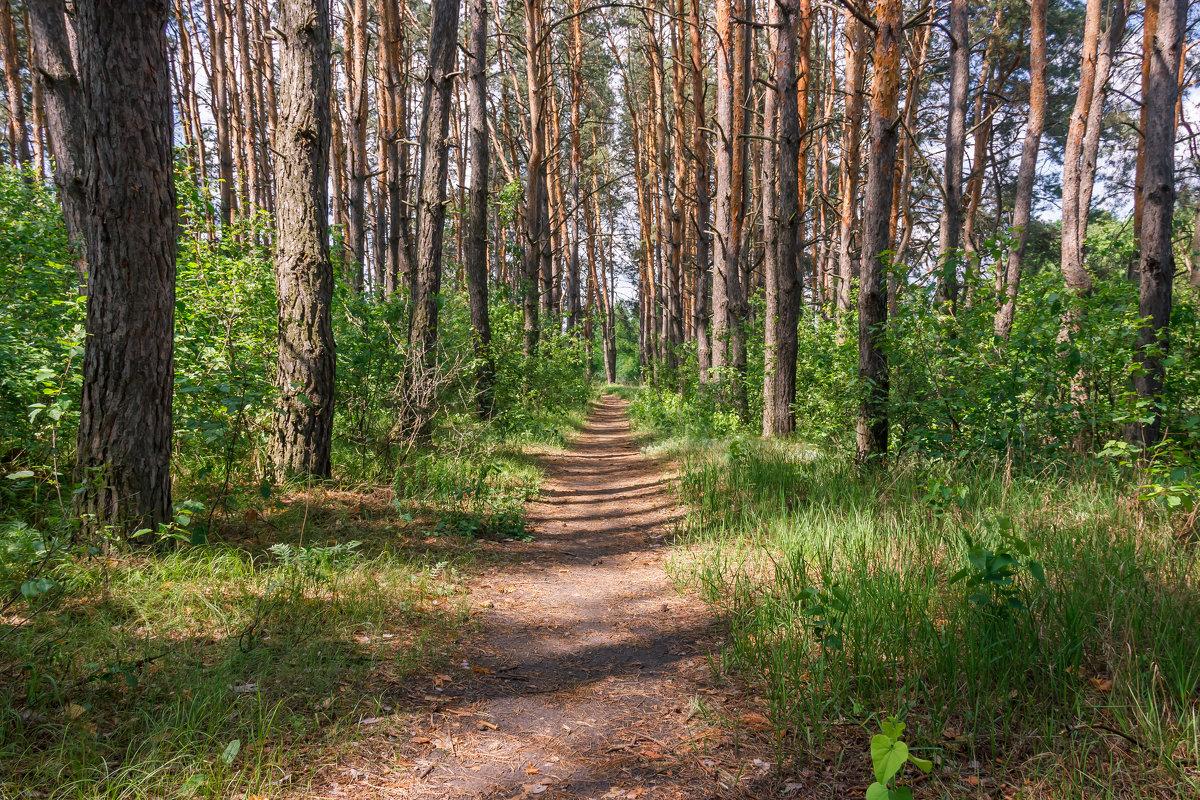В сосновом лесу в мае. - Валентина Домашкина