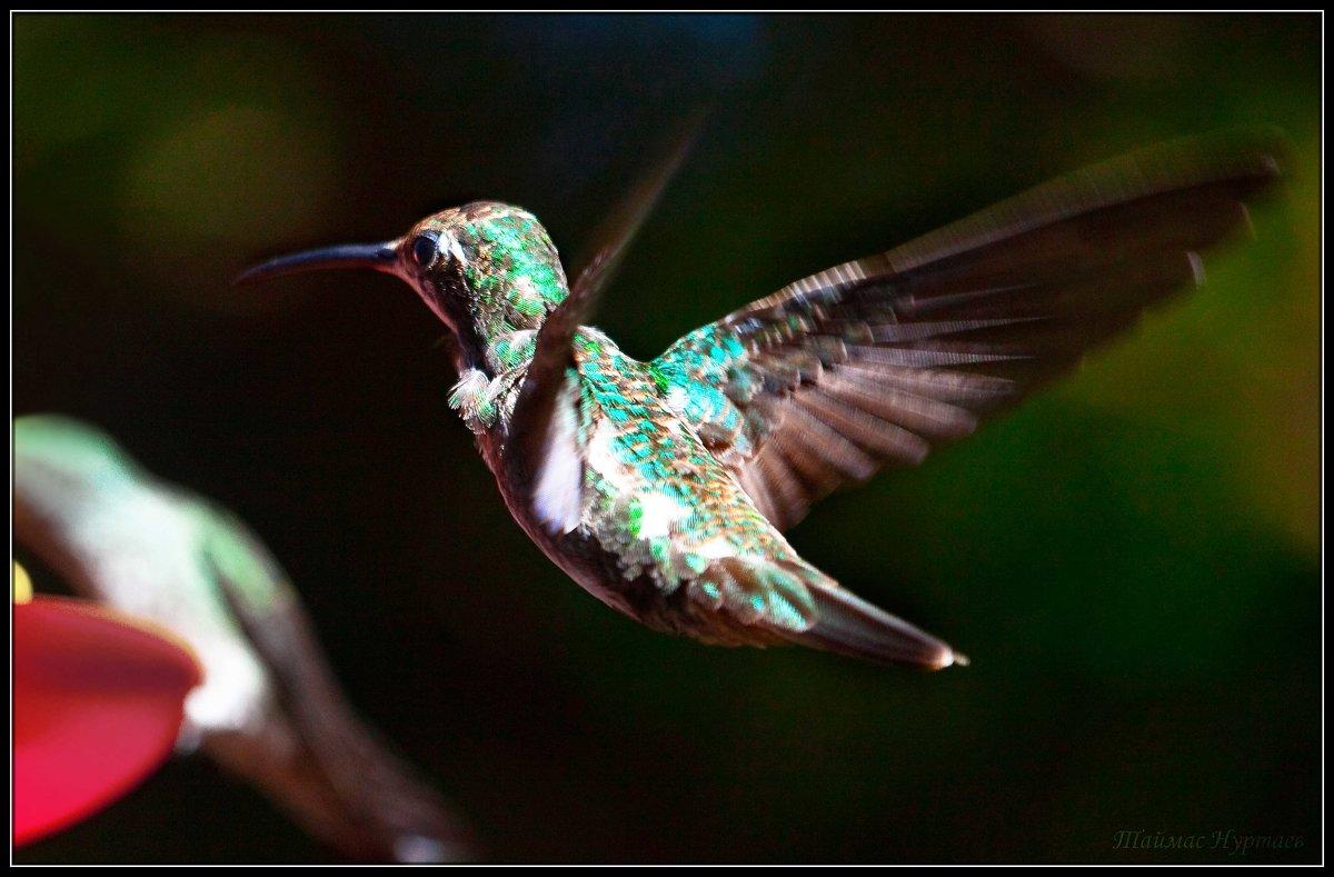 колибри - Таймас