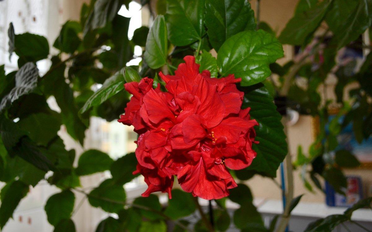 Китайская роза - Геннадий