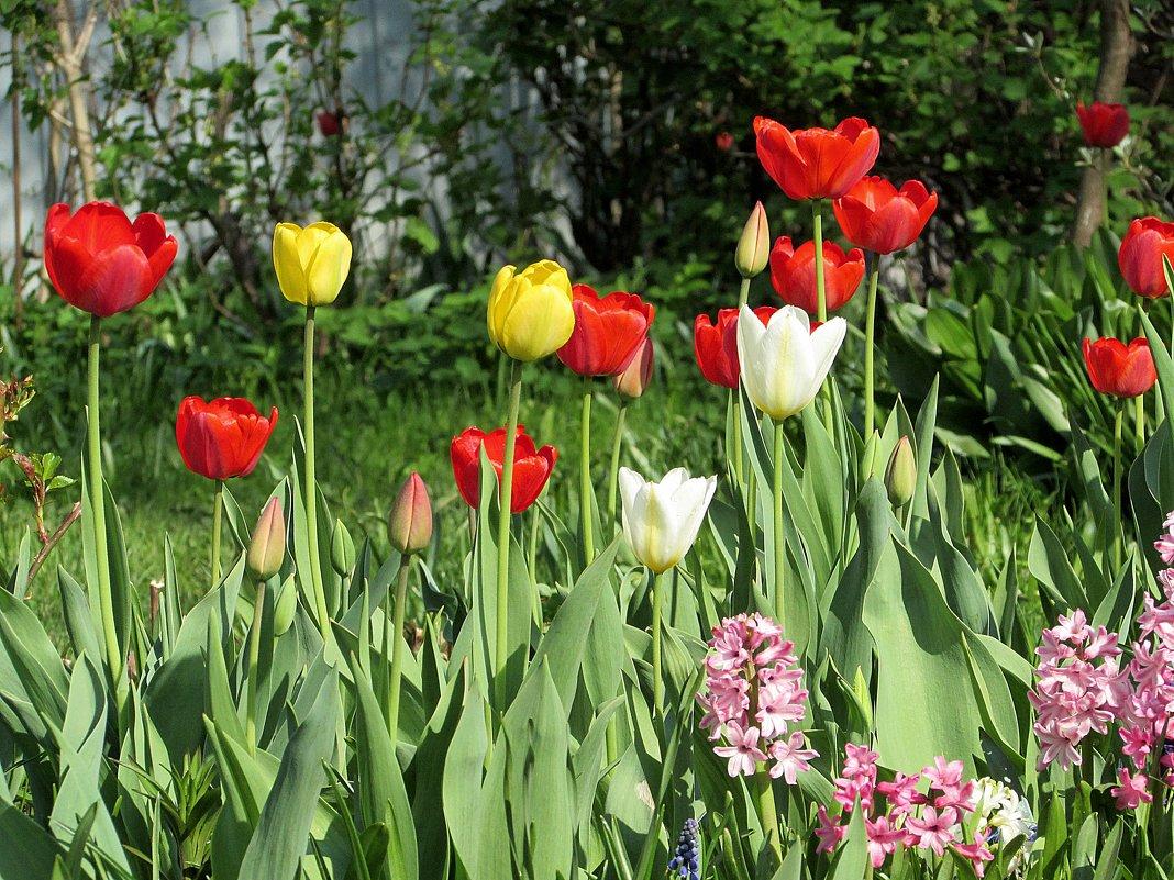 И опять тюльпаны... - Валюша Черкасова