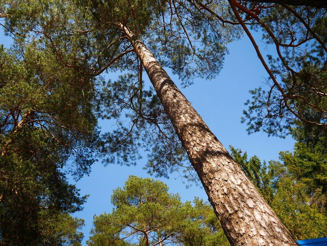 Ввысь к кронам деревьев - Станислав Соколов