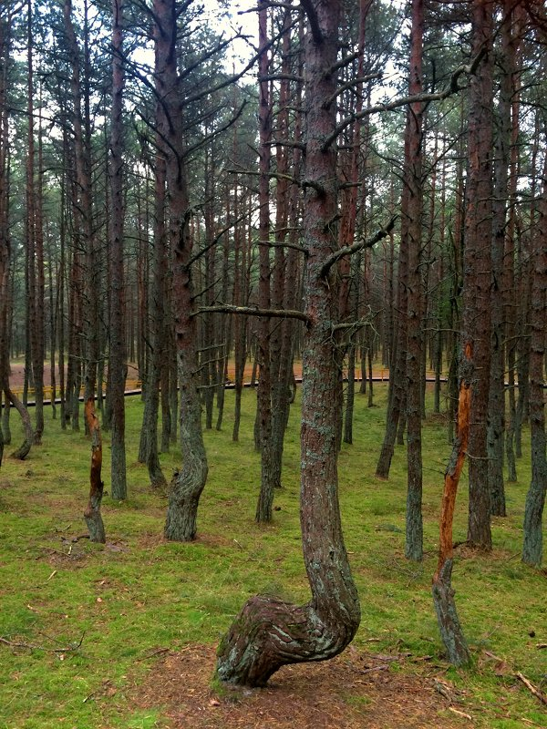 Танцующий лес - Сергей Карачин