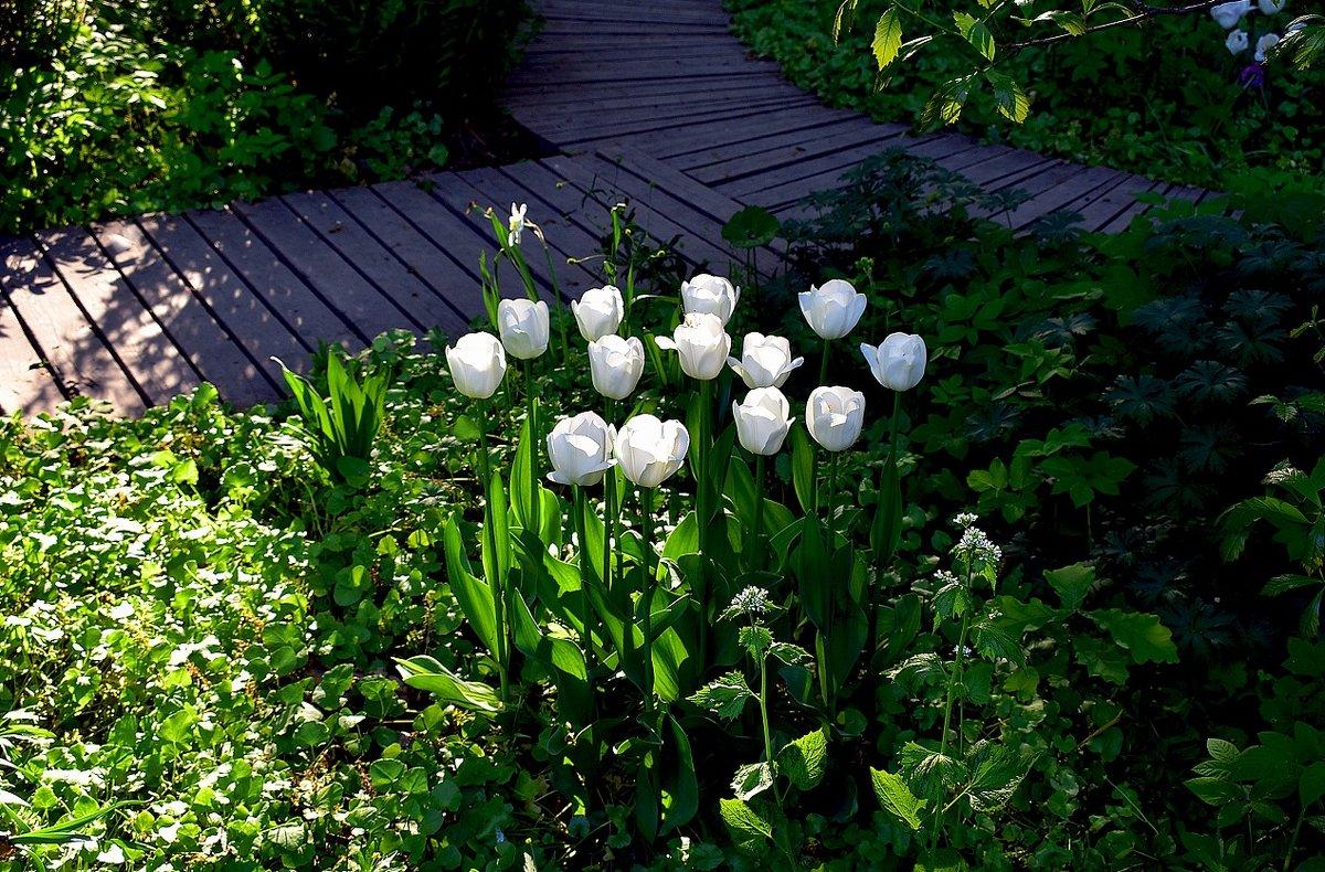 Белые тюльпаны - dindin