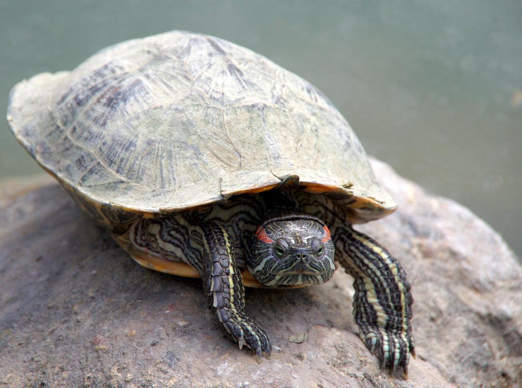 Красноухая черепаха, вид черепах из семейства американских пресноводных черепах. - Валерий Новиков