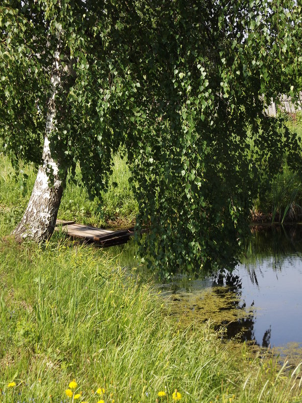 Березка у пруда. - нина