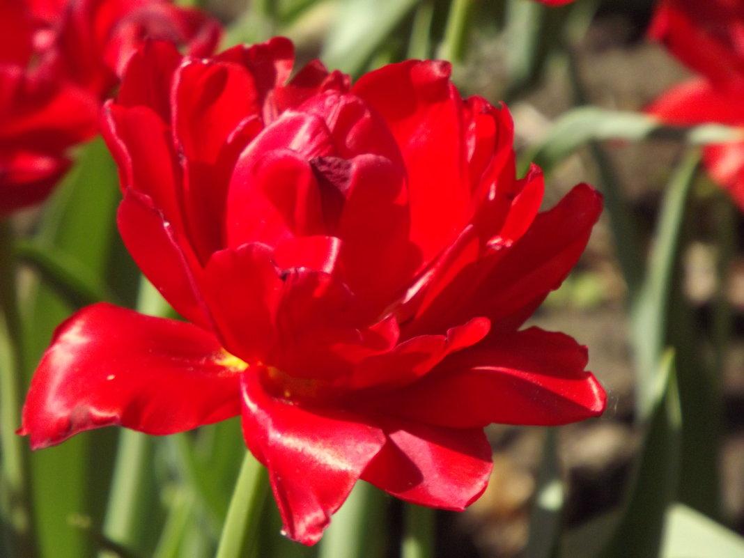 Расцвел тюльпанчик красный-лепесток атласный! - нина