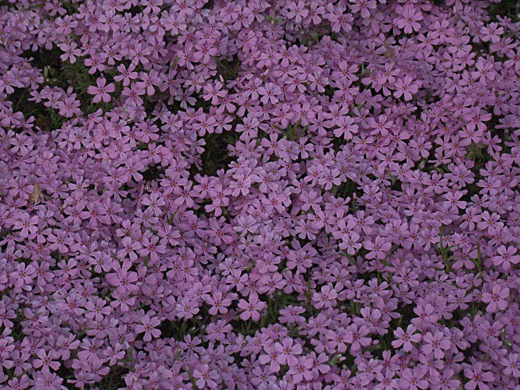 Цветочный ковёр - Syntaxist (Светлана)