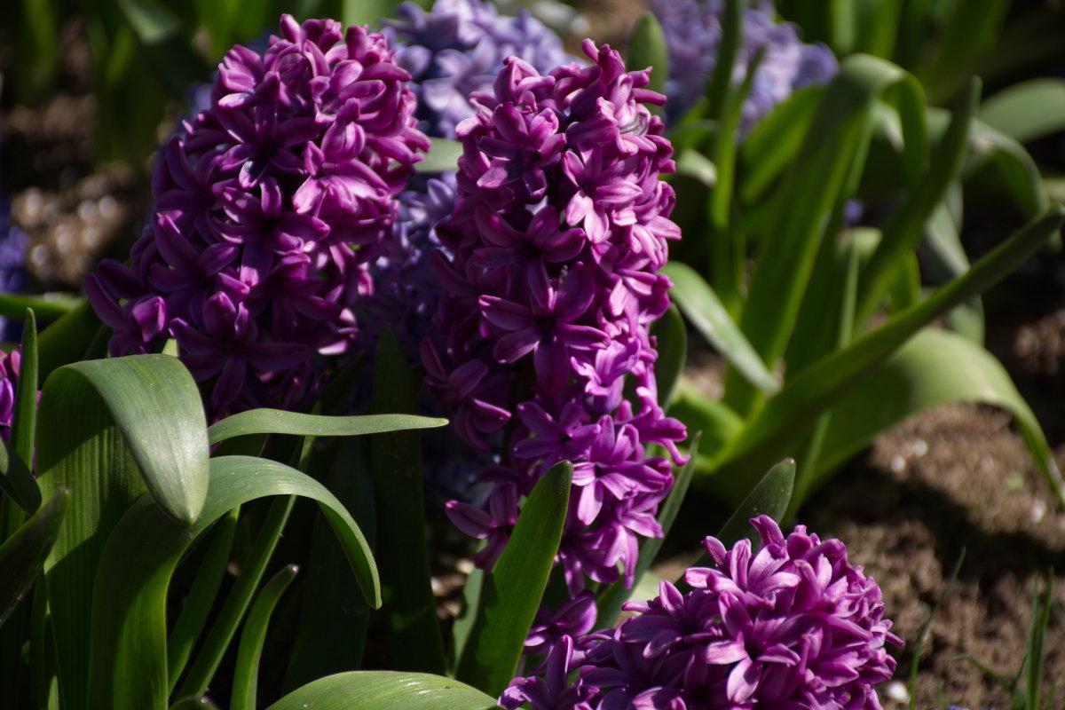 весенние цветы- геоцинт - Валентина Папилова