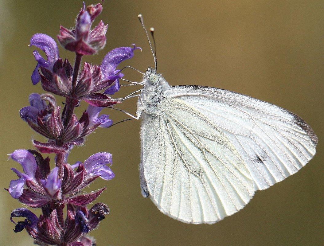 Бабочка Белянка - ZNatasha -