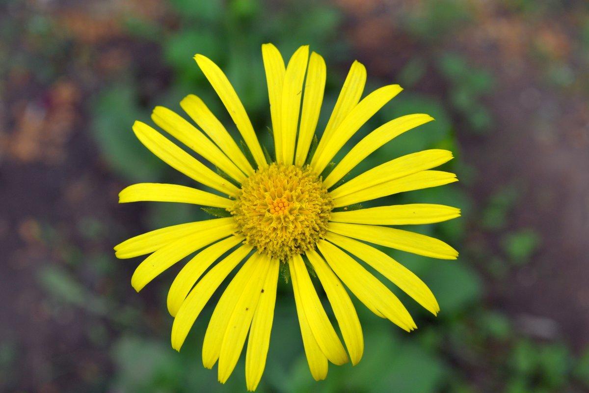 Весна на даче.Солнечный цветок... - Aлександр **