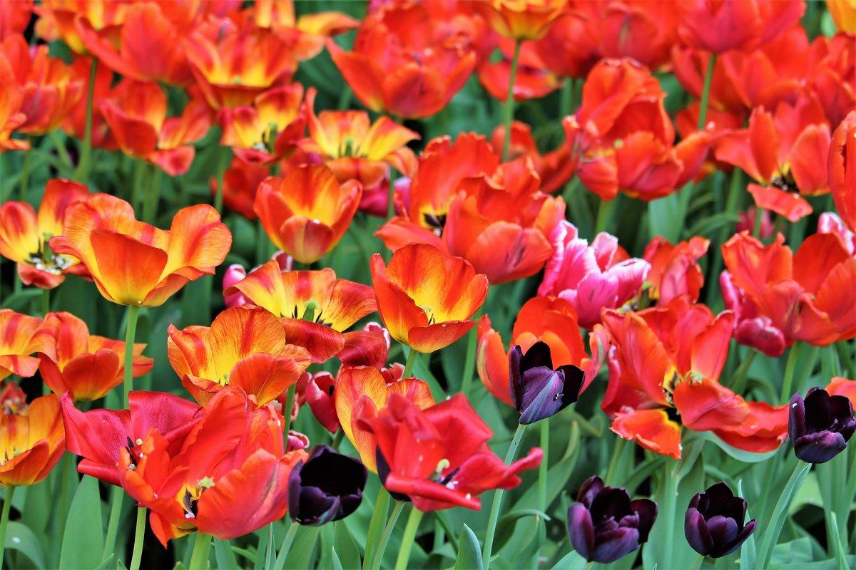 Тюльпаны  на Елагином острове. - Евгений Яхим