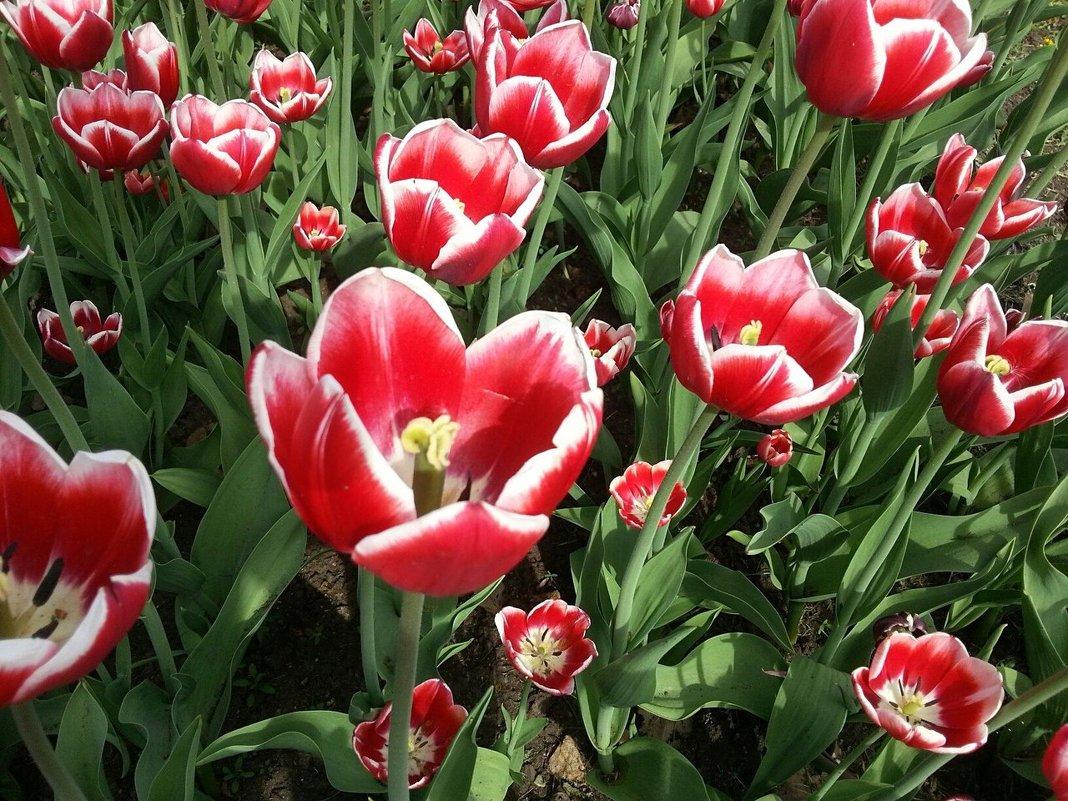 Весенний трепет ярко-огненных цветов ! - Наталья Владимировна
