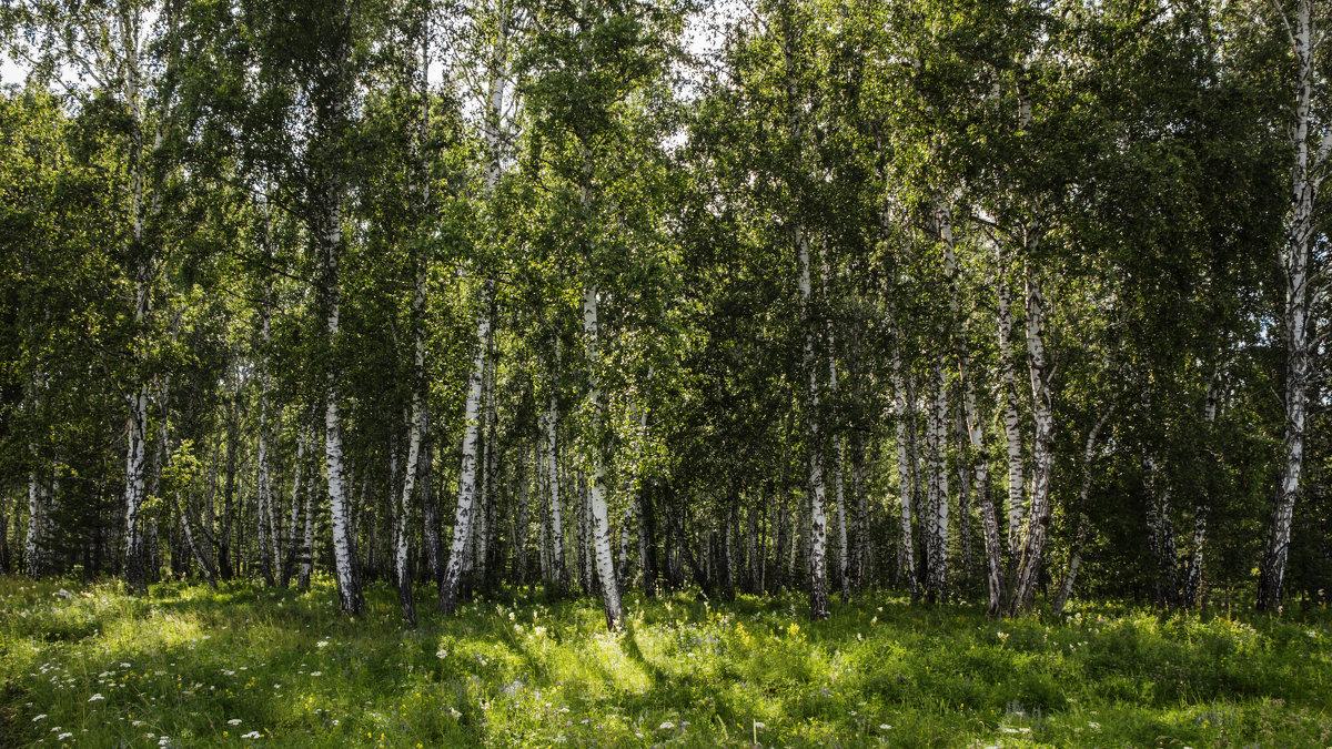 Березовый лес... - Леся Гуфраева