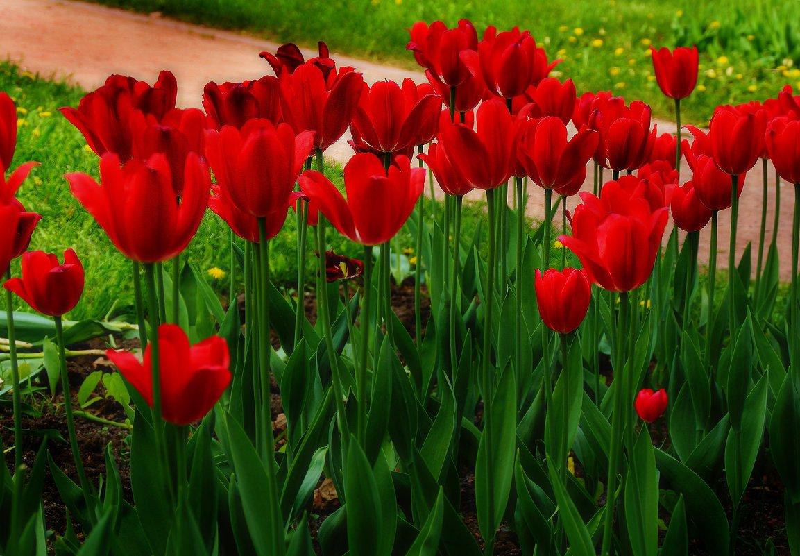 Стройные тюльпаны - Наталья Лакомова