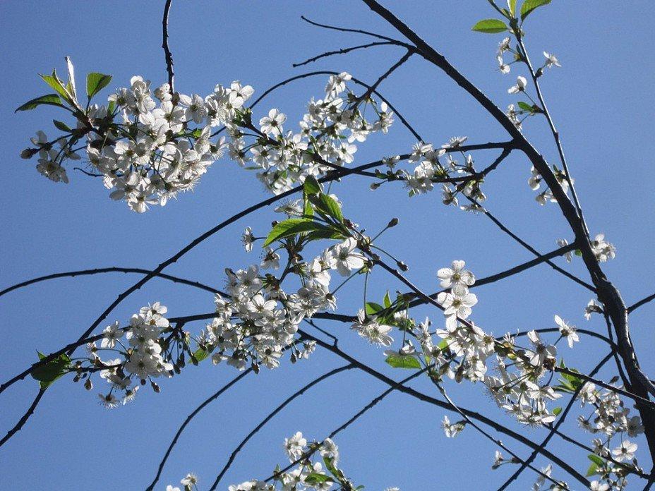 Вишня цветёт - Дмитрий Никитин