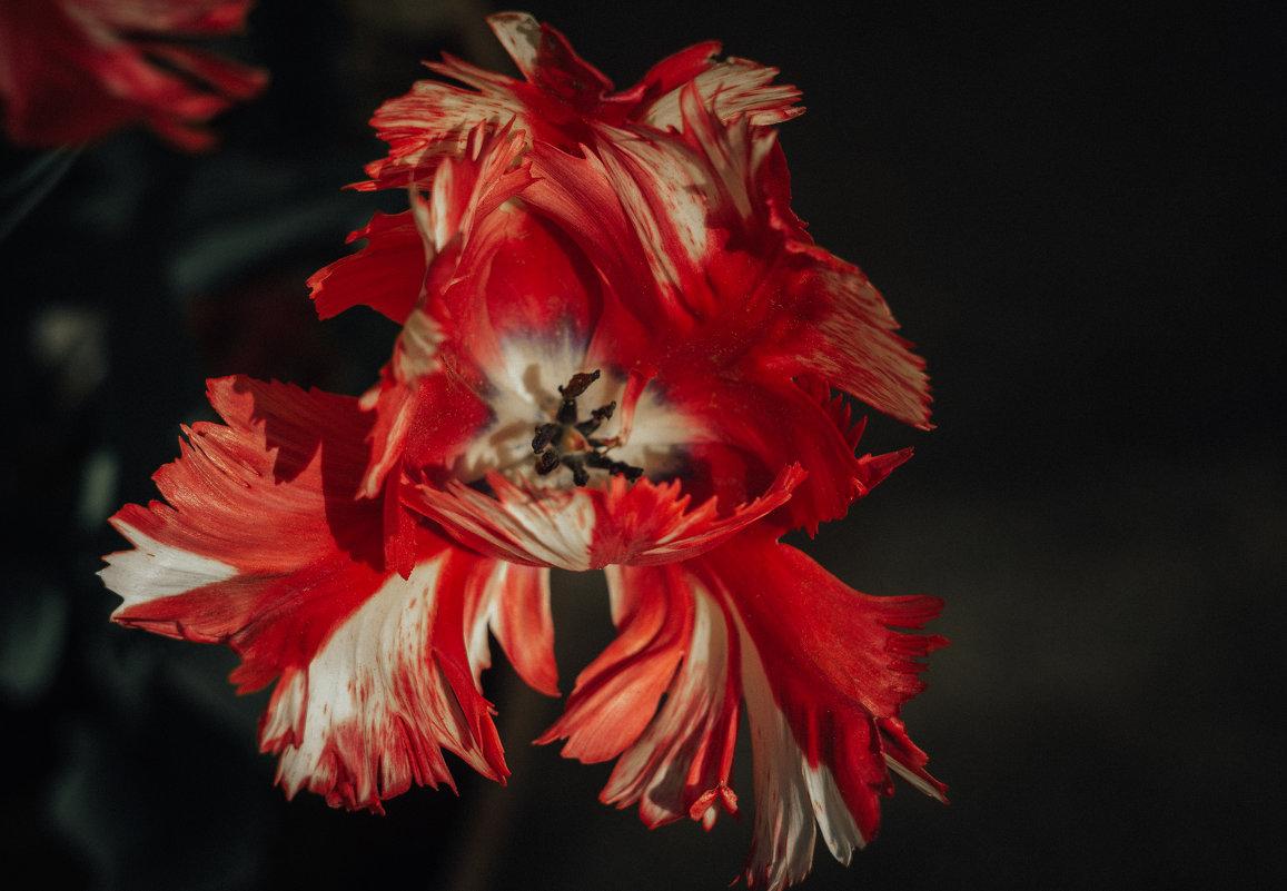 Тюльпан - Iulia Efremova
