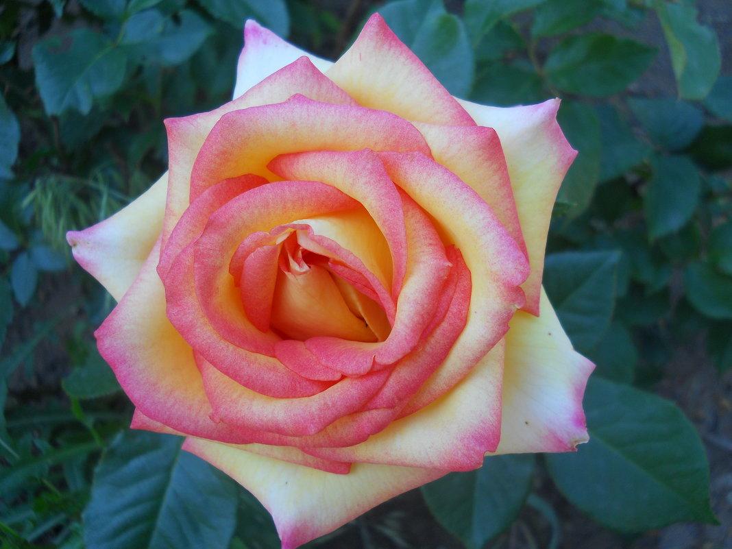 Первые розы мая. Прекрасная Глория - Галина