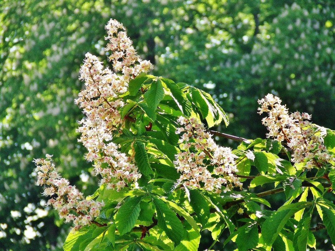 Снова цветут каштаны - Aida10