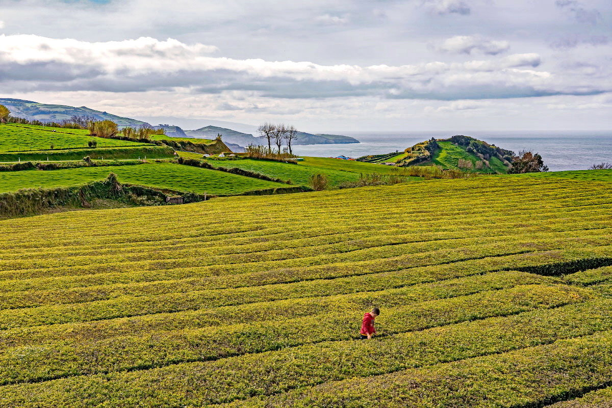 Azores 2018 Azores tea - Arturs Ancans