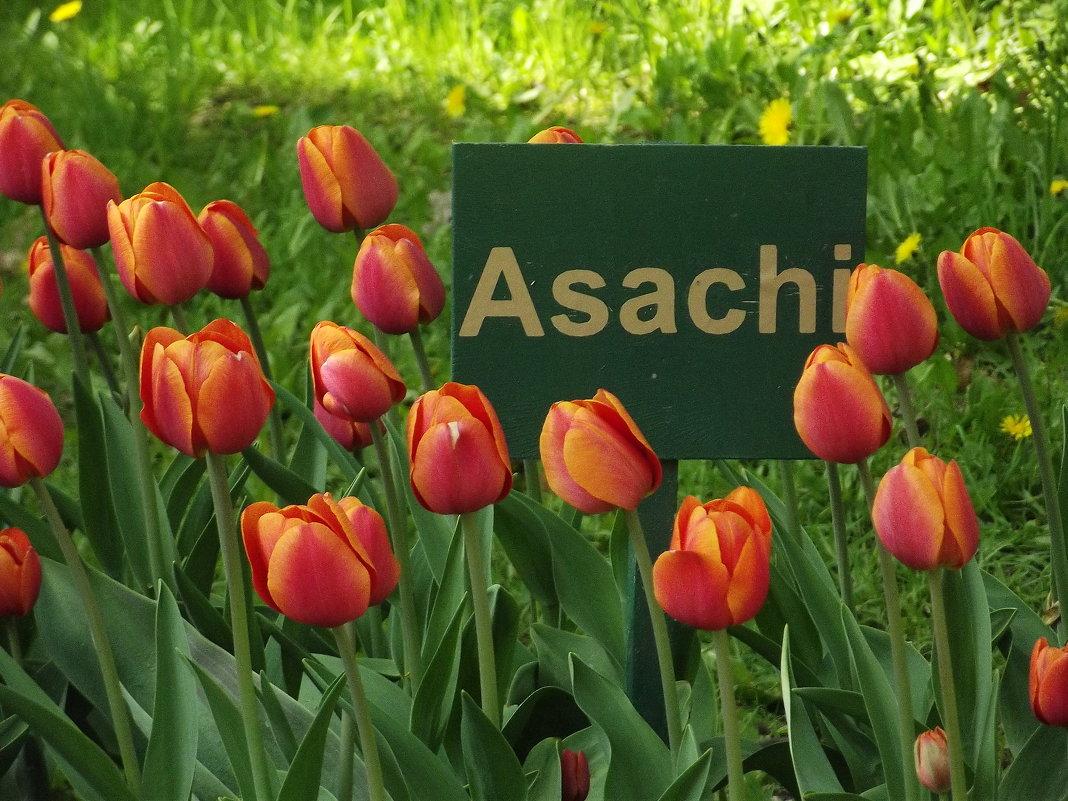 Asachi - Вероника