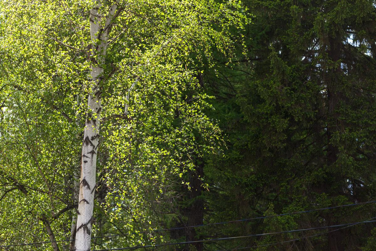Про весну и березу - Татьяна Губина