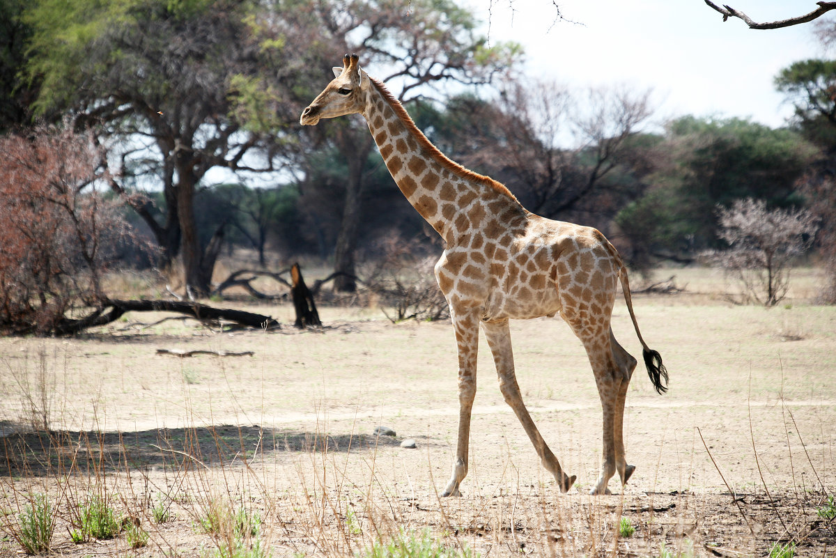 Жирафа. - Jakob Gardok