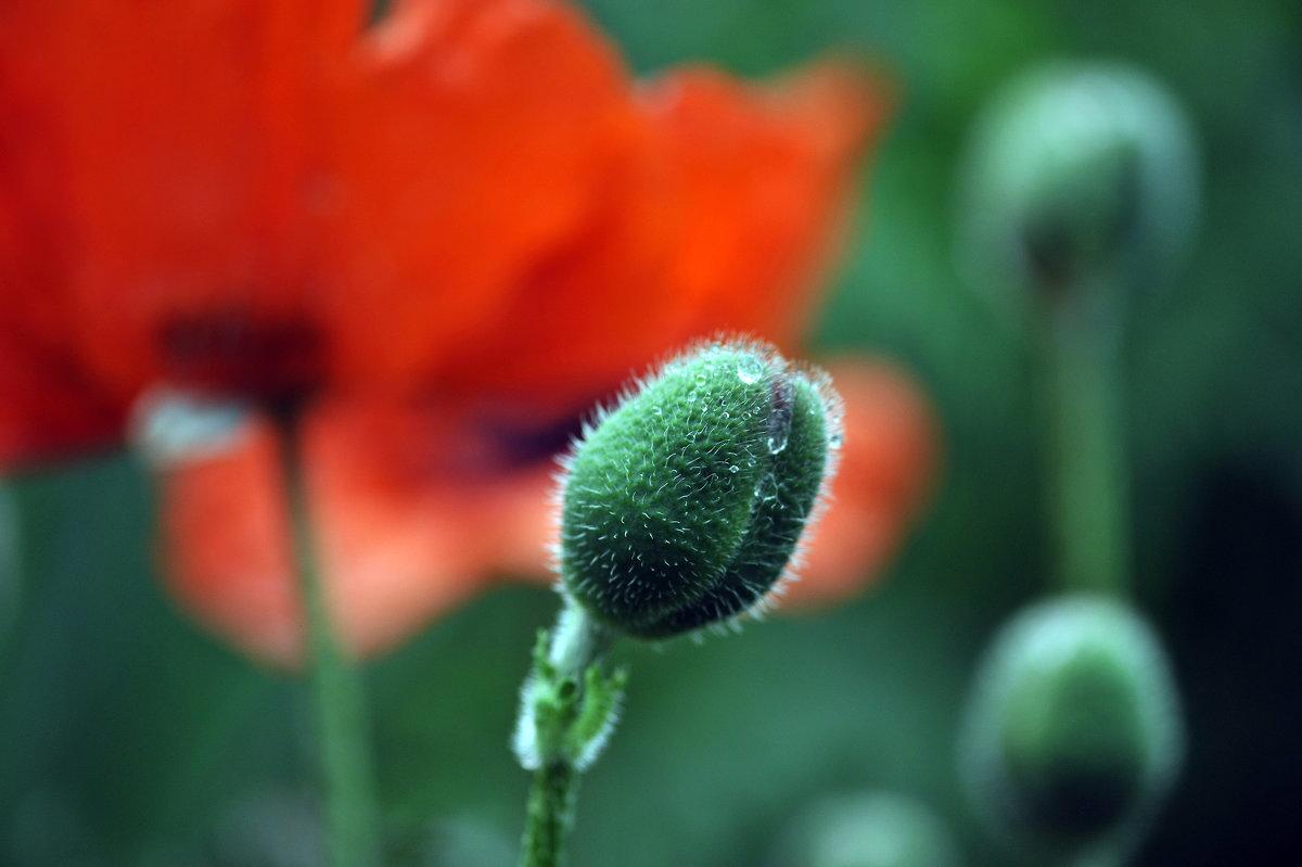 Poppy head - Олег Шендерюк