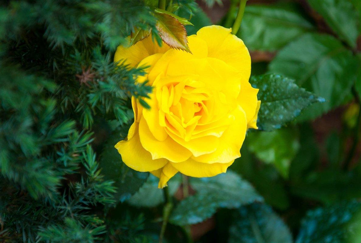 Желтая роза в саду - Андрей ТOMА©