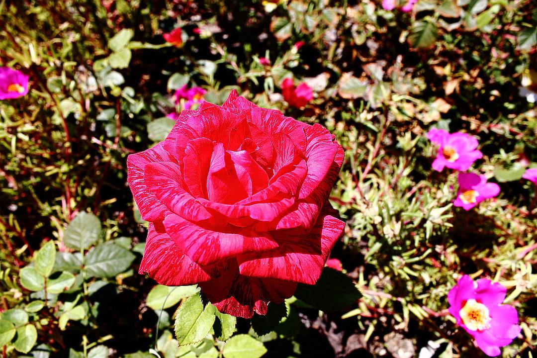 Розовые рооозы... Ооо... - Dmitry Saltykov