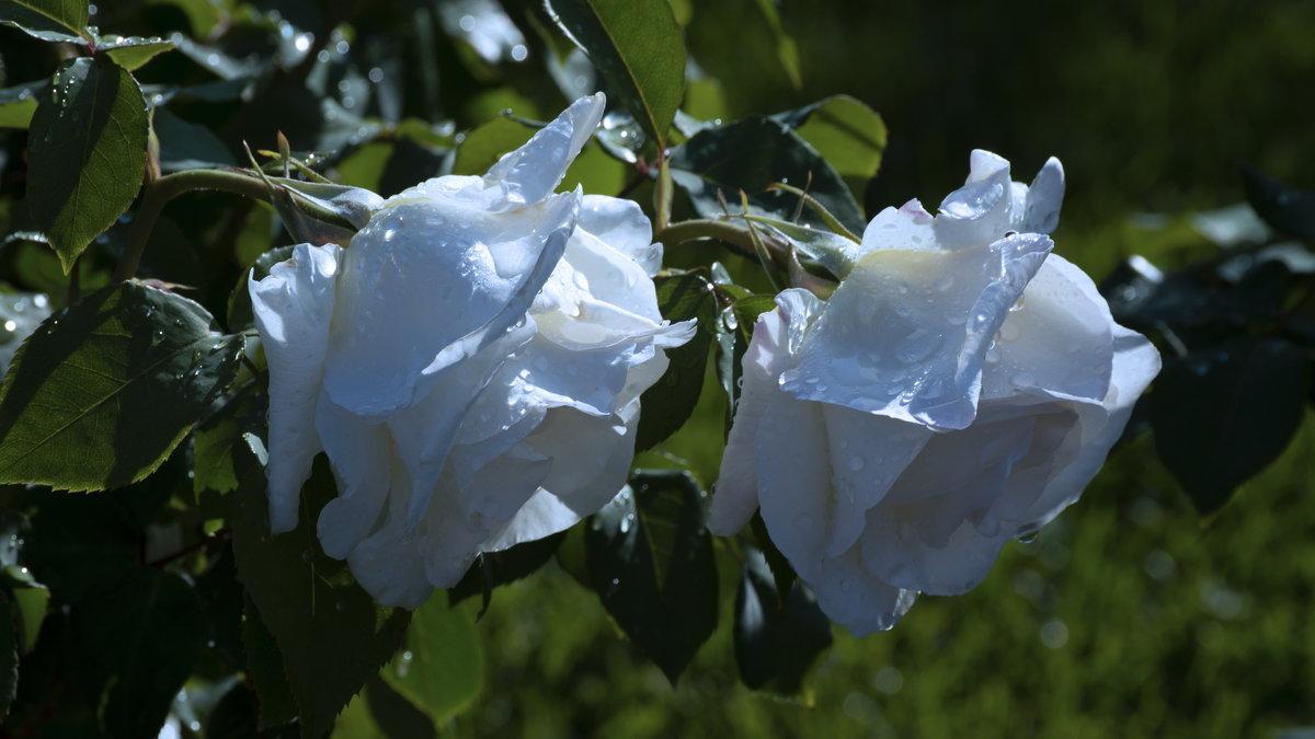 2 белые розы - Игорь