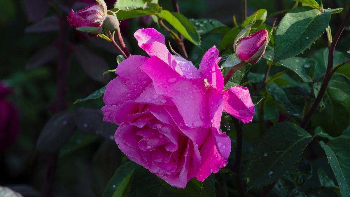 роза - Игорь