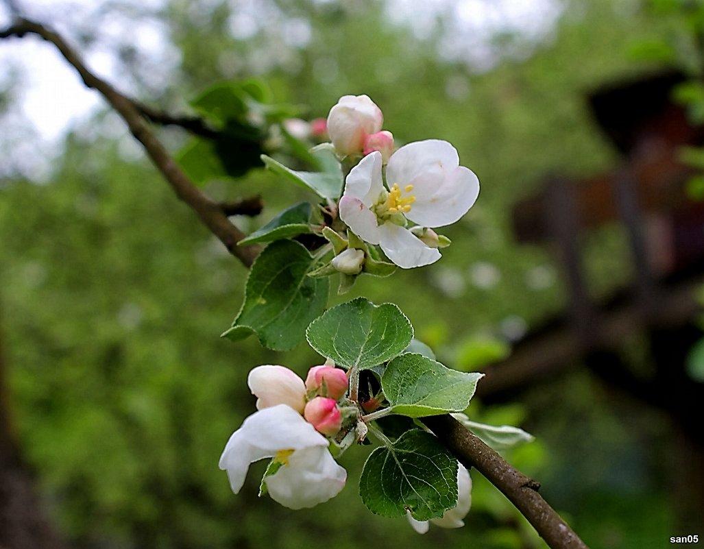 Цветы яблони - san05 -  Александр Савицкий